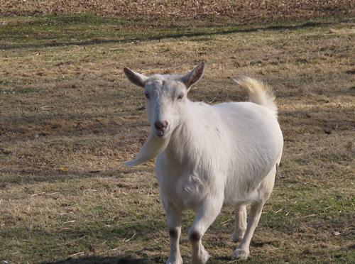 Goat Approaching