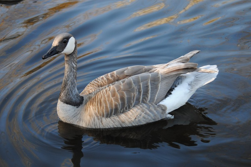 Canada Goose hats outlet authentic - Birding in BC Community ? View topic - Leucistic Canada Goose