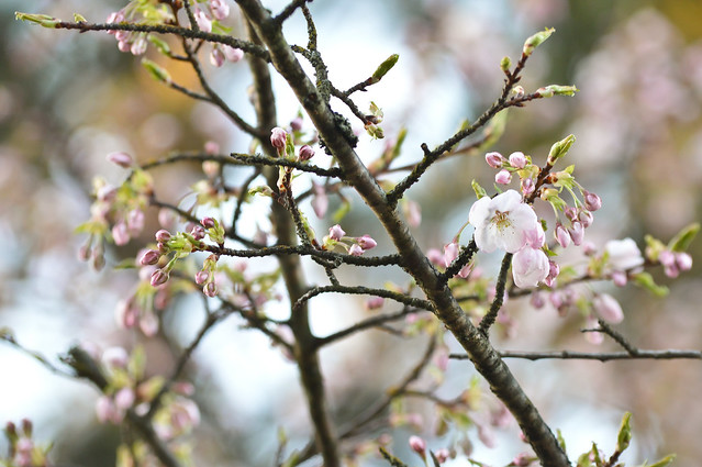 Blossoms in Newton