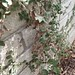 Garden Inventory: Ficus repans - 07