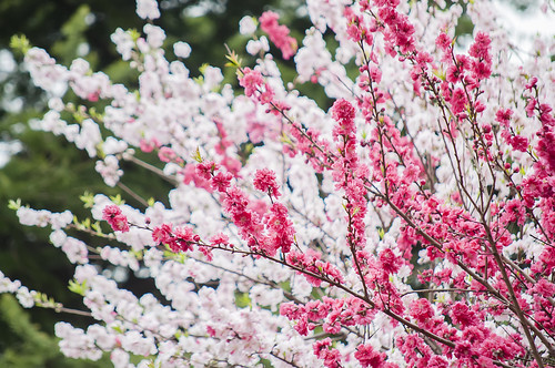 Multicolored Hanami