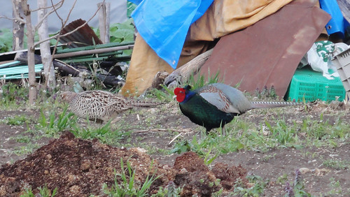 Japanese Pheasant