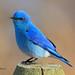 Mountain Bluebird (male) by Eddy Matuod