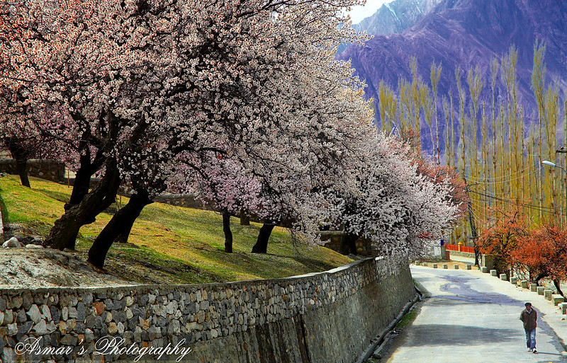 Blossoms, Spring in Hunza
