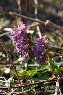 Violette Trompeten der Natur