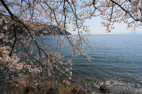 Lakeside Sakura