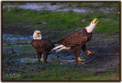Eagle Communication by QuakerVille