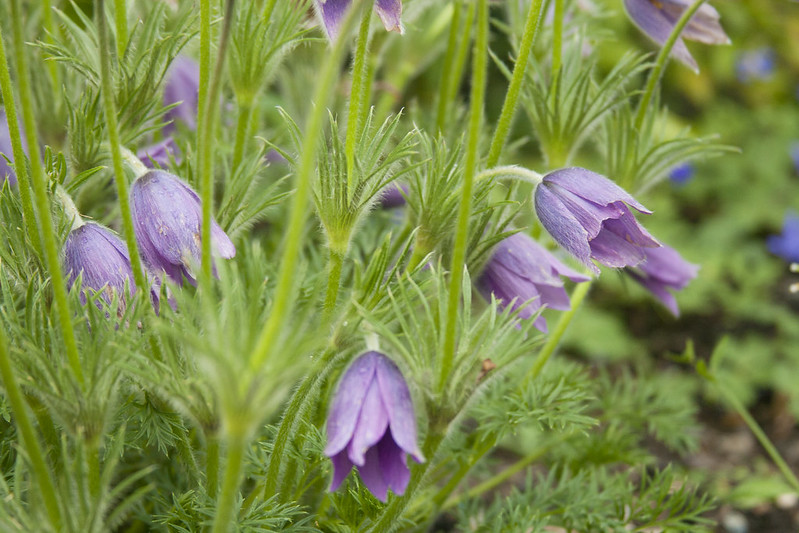Blue Pulsatilla Clump