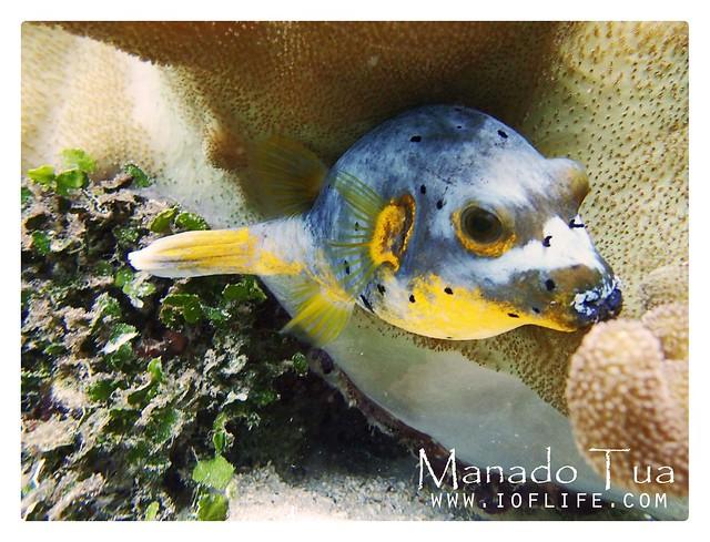 ikan buntal_manado tua