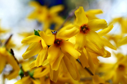 [24/365] Forsythia by goaliej54