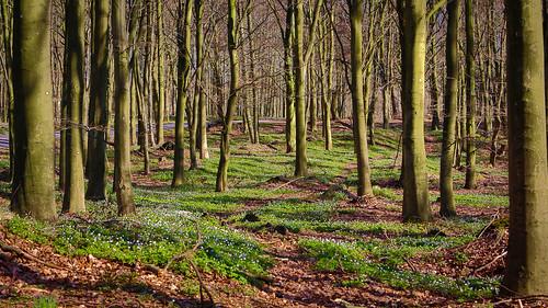 forest skåne spring sweden skog sverige vår woodanemones naturreservat vitsippor beechforest bokskog frisbjär