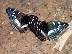 Limenitis populi ussuriensis