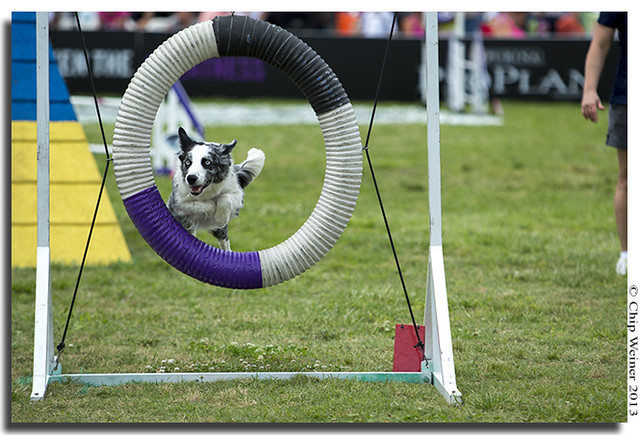 Legend, owned by Annette Martinez, competes in the agility course