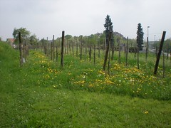 Vines and meadows on the Route