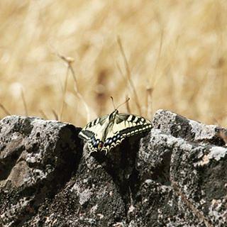 Al calor de la roca! #mariposa #buterfly #igersspain #nikon #teleobjetivo #alcoba #igersciudadreal #castillalamancha