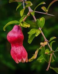 Pomegranate Puberty