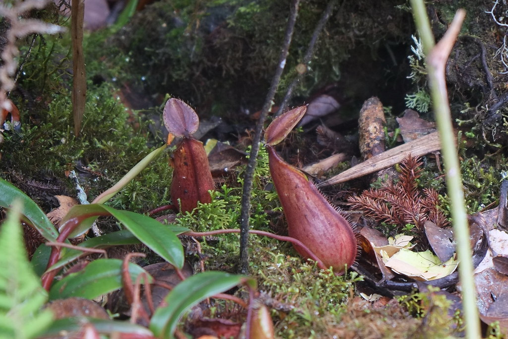 And these pitcher plants too