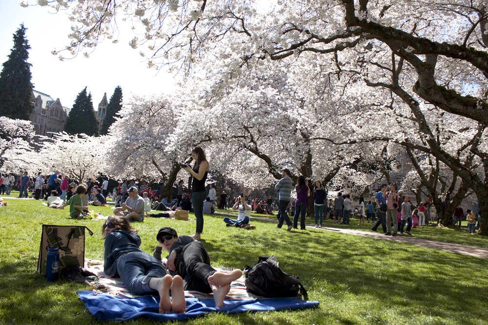 Cherry Blossoms at University of Washington 3