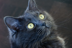 nose, animal, small to medium-sized cats, pet, snout, black cat, fauna, chartreux, bombay, close-up, cat, korat, carnivoran, whiskers, black, nebelung,