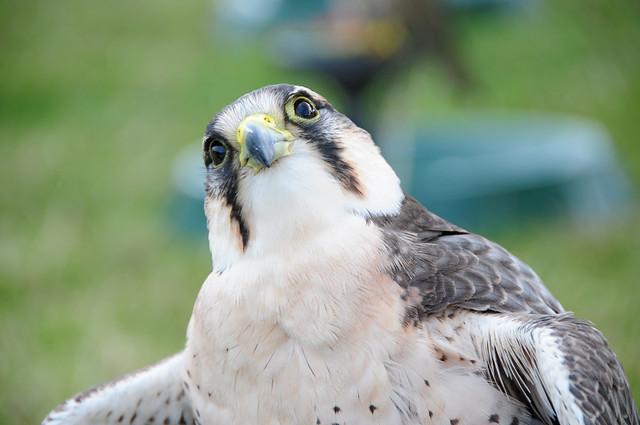 Lanner Falcon (Falco biarmicus) at Nostell Priory Steam Fair