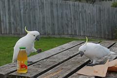 parakeet(0.0), cockatoo(1.0), animal(1.0), parrot(1.0), sulphur crested cockatoo(1.0), bird(1.0),