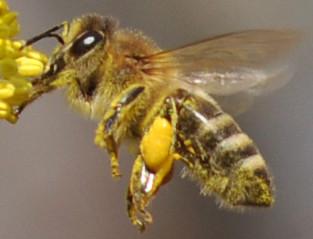 Weidenkätzchen Biene Honigbiene Pollen Pollenhöschen