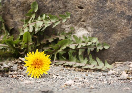 Determined dandelion