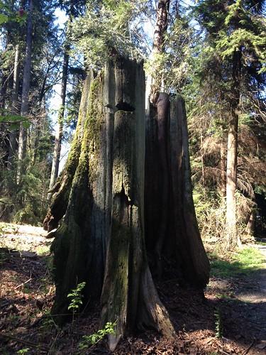 Stanley Park Springboard Stump