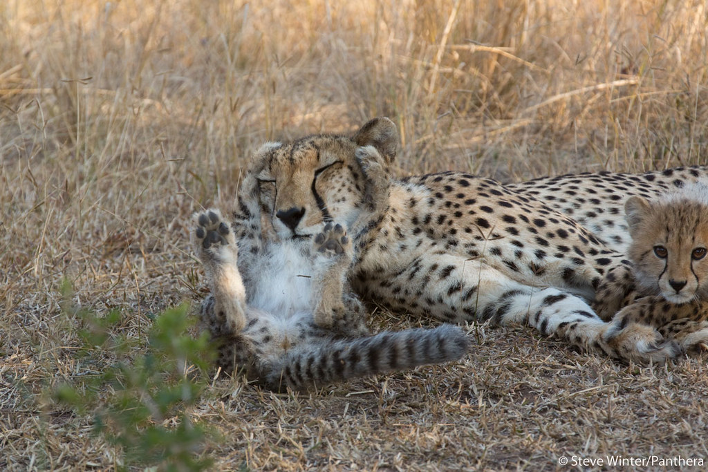 This photo was taken by Panthera's Media Director, Steve Winter, who visited Phinda last summer to document the leopard conservation work being carried out through Panthera's Munyawana Leopard Project. Learn more @ bit.ly/flEZT1
