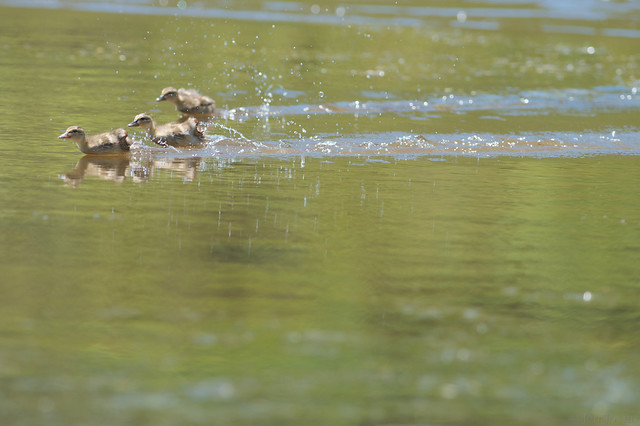 Ducklings flee