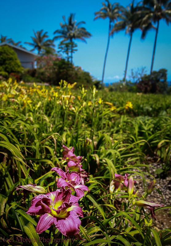 Lilly blooms,Trommer Lilly Farm, Big Island