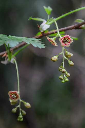 <p><i>Ribes lacustre</i>, Grossulariaceae<br /> Camosun Bog, Vancouver, British Columbia, Canada<br /> Nikon D5100, 18-55 mm f/3.5-5.6<br /> April 13, 2013</p>