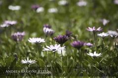 2013 Purple Daisies, Gage Park - Topeka, KS