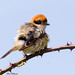 Woodchat Shrike by The Bristol Boy1