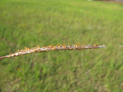 Imperata cylindrica Tomakin  flowerhead2
