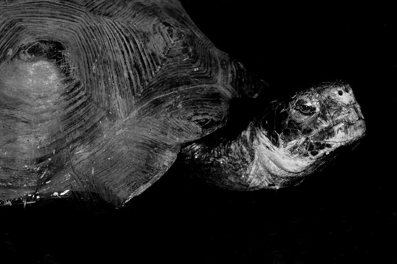Galapogas Tortoise 1 130321