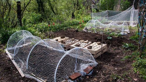 Anti-chicken veg garden