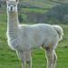 Small photo of Alpaca