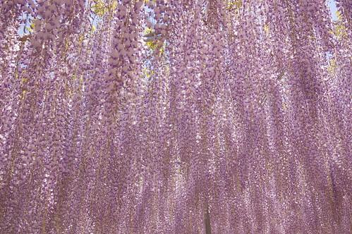 huge wisteria