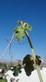 The Magical (hardly ever seen) Walking Stick 'Phasmida'