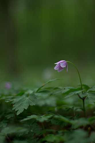 May 2nd - Anemone nemorosa [Explore]