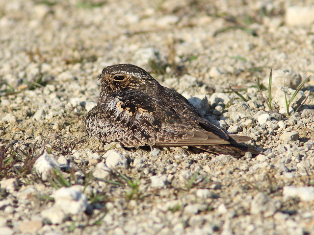 Common Nighthawk 6-20130519