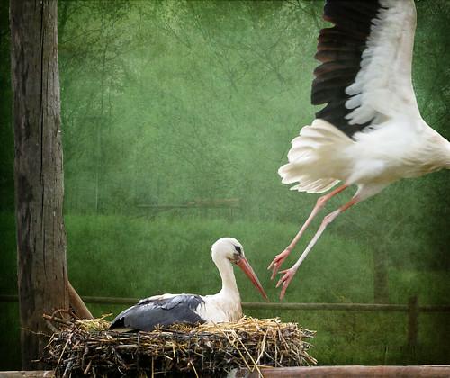 IMG_0323 storks by pinktigger
