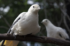 sulphur crested cockatoo(0.0), stock dove(0.0), animal(1.0), pigeons and doves(1.0), wing(1.0), fauna(1.0), close-up(1.0), beak(1.0), bird(1.0), wildlife(1.0),