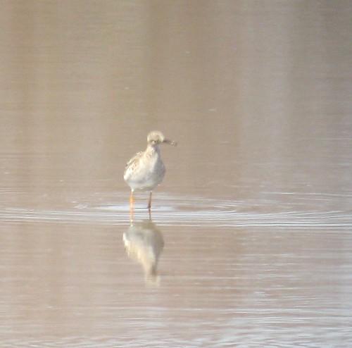 Ruff - Bombay Hook, DE - Raymond Pool 3/30/13