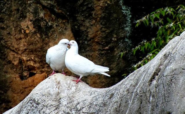 Loving Dove Pair! love birds, Happy Valentine!