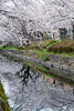 Photo:Cherry Blossoms at Gyoya River By Takashi(aes256)