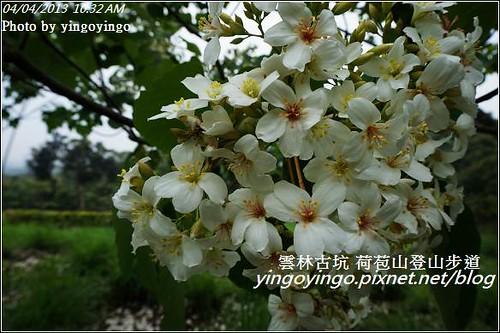 雲林古坑_古坑桐花20130404_DSC004485