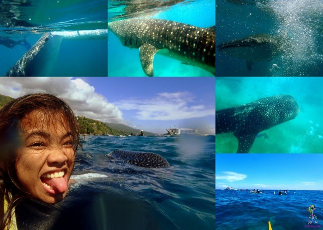 whale-shark-watching-in-oslob-cebu-1024x731