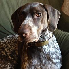 louisiana catahoula leopard dog(0.0), puppy(0.0), weimaraner(0.0), dog breed(1.0), labrador retriever(1.0), animal(1.0), dog(1.0), pet(1.0), mammal(1.0), pointer(1.0), german shorthaired pointer(1.0),